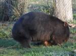 black wombat