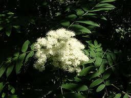 rowanflower