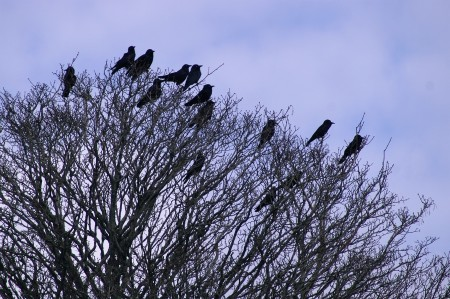 Raven conversation...