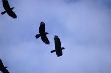 Raven flight...