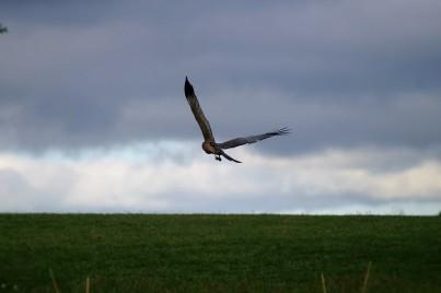 Harrier circling