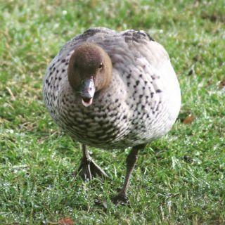 duckrunner
